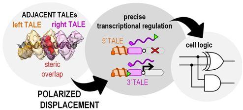 CRISPR盖住风头的TALE蛋白再次令人瞩目