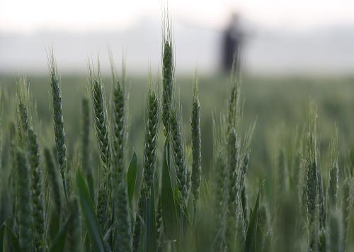"""先正达防治小麦赤霉病新品""""麦甜""""(氟唑菌酰羟胺)正在中国境内申请上市"""