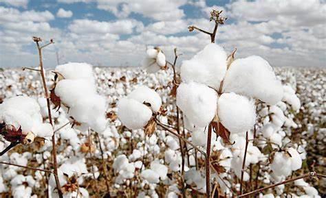 安道麦最新棉花杀虫剂Comissario获巴西登记
