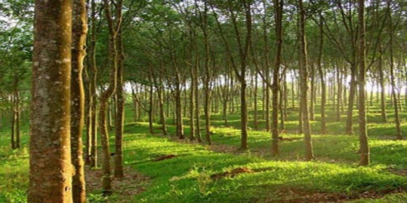 云南:明年天然橡胶农业产值要达到90亿元